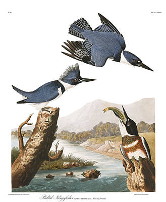 Belted Kingfisher Wall Art - Painting - Belted Kingfisher by MotionAge Designs