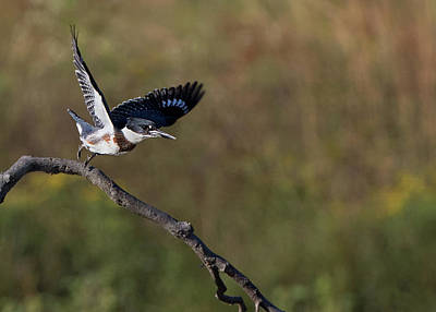 Photograph - Belted Kingfisher Liftoff by Art Cole