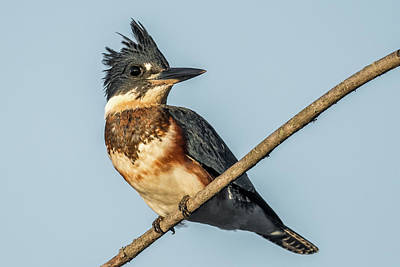 Belted Kingfisher Wall Art - Photograph - Belted Kingfisher by Paul Freidlund