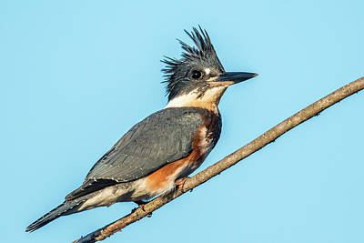 Belted Kingfisher Wall Art - Photograph - Belted Kingfisher Portrait by Paul Freidlund