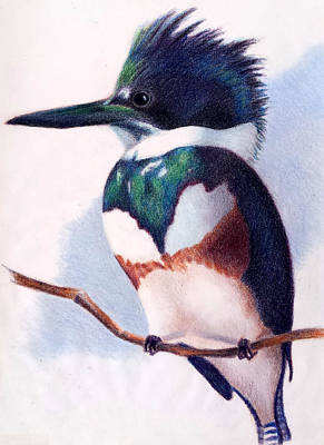 Susan Conner Drawing - Belted Kingfisher by Susan Conner