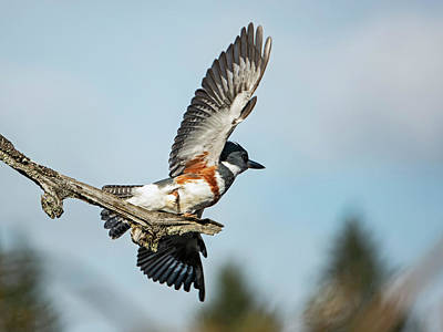 Photograph - Belted Kingfisher Taking Flight by Inge Riis McDonald