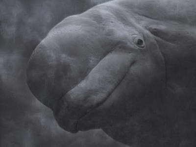Nature Study Photograph - Beluga Face To Face by Betsy Knapp