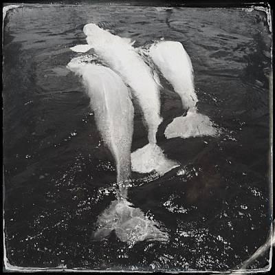 Personalized Name License Plates - Beluga trio by Valerie Nolan