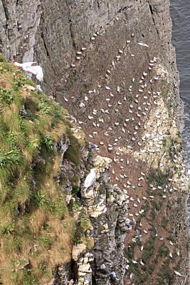 Photograph - Bempton Cliffs by Tony Murtagh
