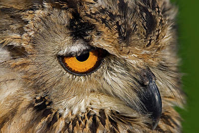 Bengal Eagle Owl Art Print by JT Lewis