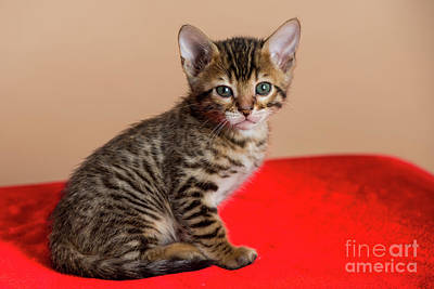 Animal Paintings David Stribbling - Bengal Kitten - 3 by Robert McAlpine