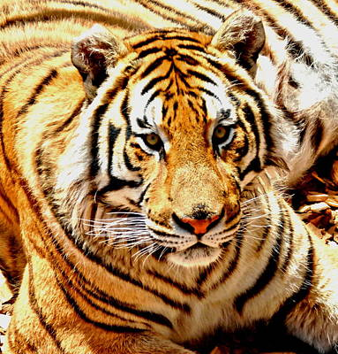 Photograph - Bengal Tiger by Amy McDaniel