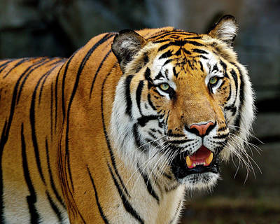 Photograph - Bengal Tiger by Bill Dodsworth