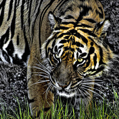 Cat Photograph - Bengal Tiger by David Patterson
