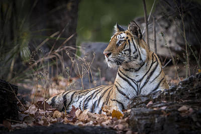 Photograph - Bengal Tiger by Hitendra SINKAR