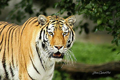 Photograph - Bengal Tiger by Joann Copeland-Paul