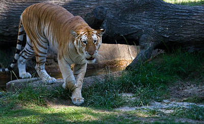 Photograph - Bengal Tiger On The Prowl by Douglas Barnett
