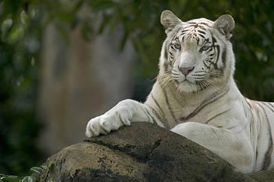 Photograph - Bengal Tiger Panthera Tigris Tigris by Cyril Ruoso