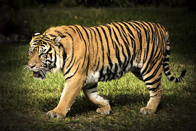 Photograph - Bengal Tiger by Penny Lisowski