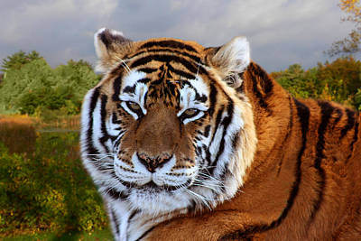 Photograph - Bengal Tiger Portrait by Michele Loftus