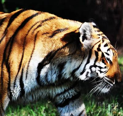 Photograph - Bengal Tiger by Rose  Hill