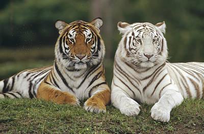 Photograph - Bengal Tiger Team by Konrad Wothe