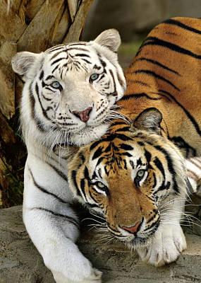 Bengal Tigers At Play Art Print