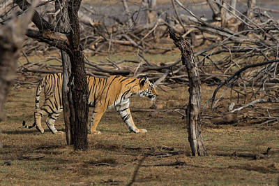 Photograph - Bengal Tigress by Ramabhadran Thirupattur