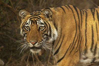 Photograph - Bengale Tiger by Jean-Luc Baron