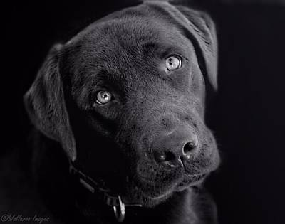 Photograph - Benji In Black And White by Wallaroo Images