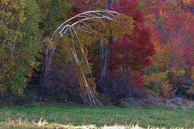 Photograph - Bending Birch by Todd Rojecki