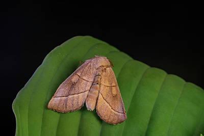 Photograph - Bent Line Dart Moth On Leaf by Douglas Barnett