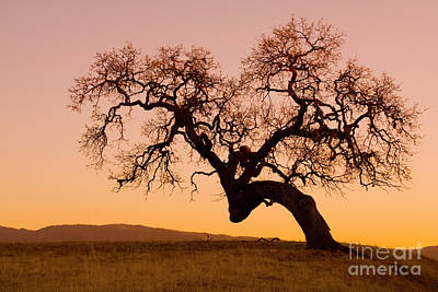 Photograph - Bent Oak by Sharon Foelz