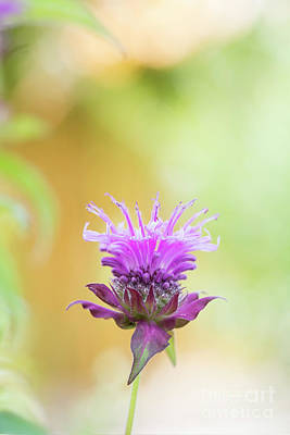 Erect Photograph - Bergamot Flower by Tim Gainey