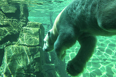 Polar Bear Photograph - Berlin Dives by Pamela Williams
