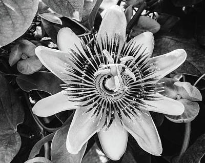 Photograph - Bw Passiflora Flower Of Bermuda by Jeff at JSJ Photography