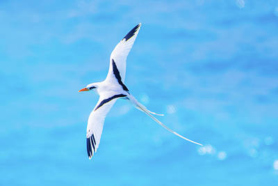 Photograph - Bermuda Longtail Close-up by Jeff at JSJ Photography