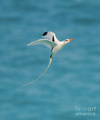 Photograph - Bermuda Longtail S Curve by Jeff at JSJ Photography