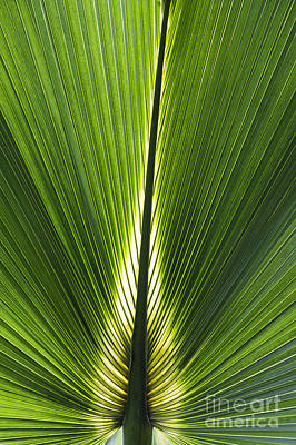 Palmetto Plants Photograph - Bermuda Palmetto Palm Leaf by Tim Gainey