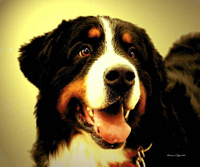Photograph - Bernese Mountain Dog - Paintograph by Christine S Zipps