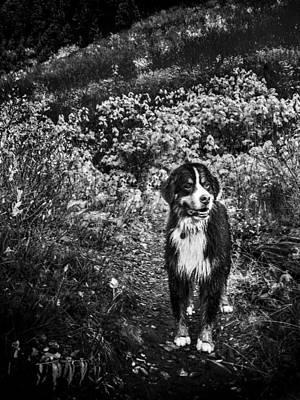 Bernese Mountain Dog Photograph - Bernese Mountain Dog Black And White by Pelo Blanco Photo