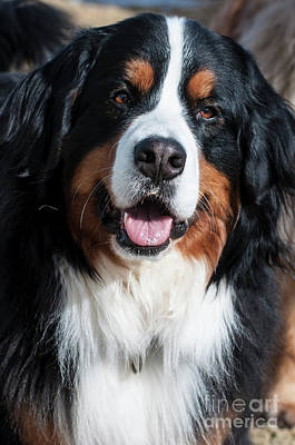 Bernese Mountain Dog Portrait  Art Print by Gary Whitton