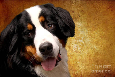 Textures Photograph - Bernese Mountain Dog by Nichola Denny