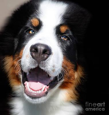 Pet Portraits Digital Art - Bernese Mountain Dog  by Steven Digman