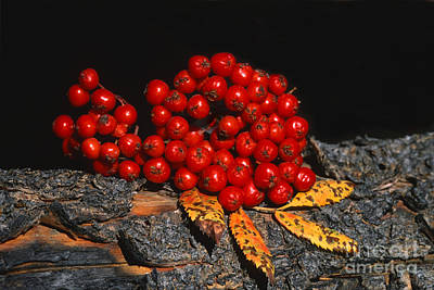 Photograph - Berries And Bark by Sandra Bronstein