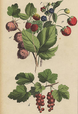 Berries And Currants Art Print