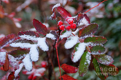 Photograph - Berries And Snow by Idaho Scenic Images Linda Lantzy