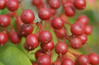 Art Print featuring the photograph Berries by Heidi Poulin