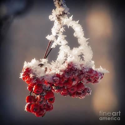 Winter Garden Photograph - Berries In Ice by Konstantin Sevostyanov