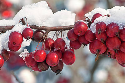 Cold Photograph - Berries In The Snow by Benjamin DeHaven