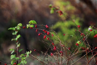 Photograph - Berries On Branches by Toni Hopper
