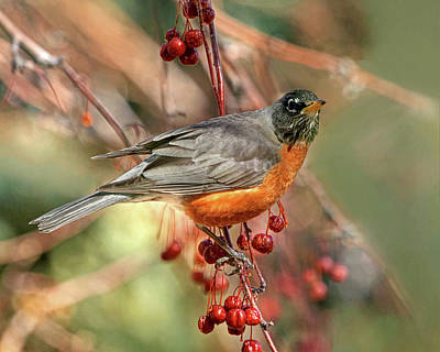 Robin Photograph - Berries On The Menu by Donna Kennedy