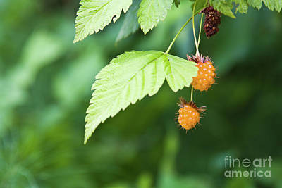 Photograph - Berries by Tatiana Travelways
