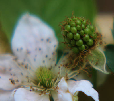 Photograph - Berry Beggining by Lori Mellen-Pagliaro